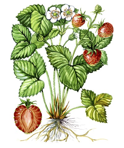 Dr. Holly Giannatselis Berries