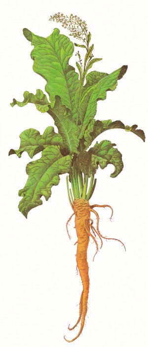 Dr. Holly Giannatselis horseradish