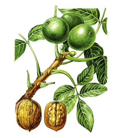 Dr. Holly Giannatselis walnuts